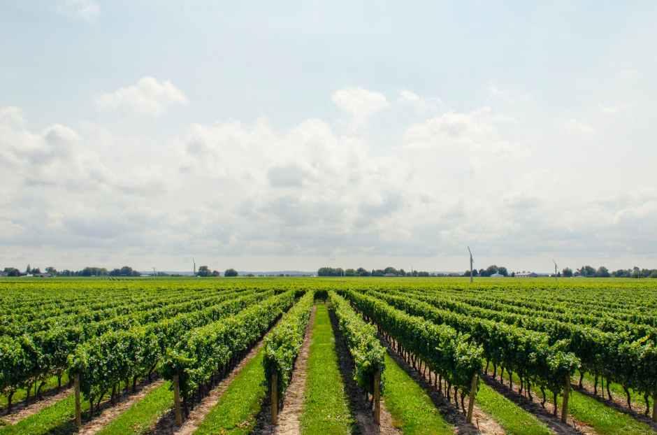 grapes vineyard wine sky